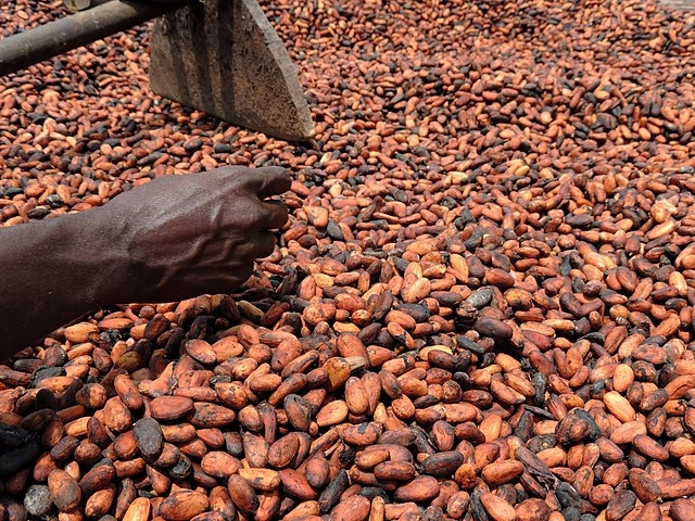 Kakaobohnen Sortierung Elfenbeinküste